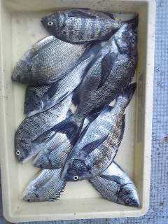 旧一文字白灯にて紀州釣りでチヌ9枚