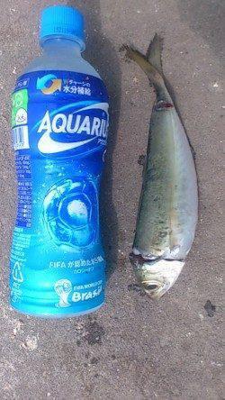 兵庫突堤にてサビキ釣り〜小アジとナイスサイズの丸アジの釣果