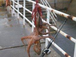 大阪南港魚つり園のサビキで小アジが釣れています