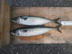大阪南港魚つり園 サビキでアジ・サバ・サッパ