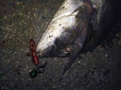 夕方から和歌川でチヌゲーム 35cm程のチヌ