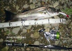 円山川にてシーバス45㎝&53㎝