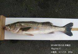 円山川にてランカーシーバス87cmをキャッチ