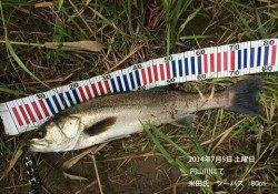 円山川でシーバスゲーム!67cm&80cm