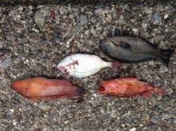磯にわたってのフカセ釣り アタリ多く楽しめました
