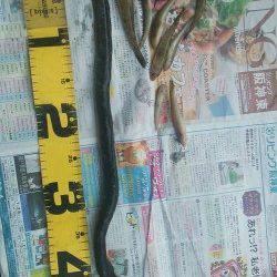 武庫川河口でハゼの釣果、ウナギも釣れました♪