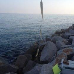 淡路島・鳥飼周辺でちょい投げ、キス〜23cm55匹