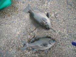 和歌山北港魚つり公園 雨の中のグレ釣果