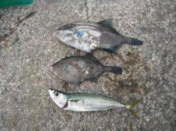 和歌山北港魚つり公園 ウマヅラ・サバの釣果