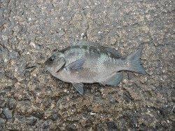 【7日】北港魚つり公園のグレ釣果