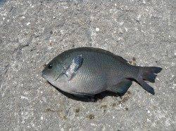 和歌山北港魚つり公園 カゴ釣りでナイスサイズのグレ