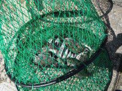 北港魚つり公園でグレ・アイゴ・サンバソウ〜フナムシをエサに紀州釣り