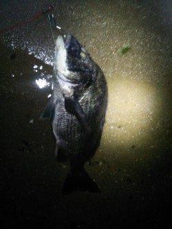 天橋立周辺 ルアーでチヌが釣れだしています
