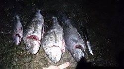 フカセ釣りの釣果、夕マヅメにチヌと夜中にコロダイ&ヘダイ