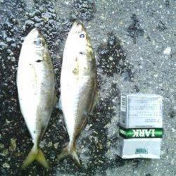 舞洲アジング釣果〜中アジ少々に豆アジの数釣り