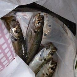 泉佐野食品コンビナート 夕方のサビキ釣りでアジ快釣