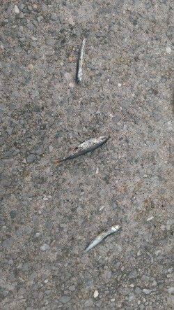 尼崎のびのび公園ジグサビキ調査