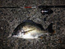 舞洲でチニング釣行 キビレの活性は高め
