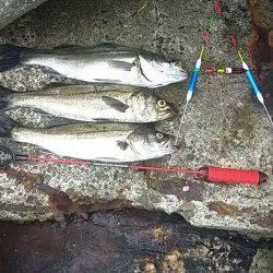 大阪南港周辺でのエビ撒き釣り釣果です