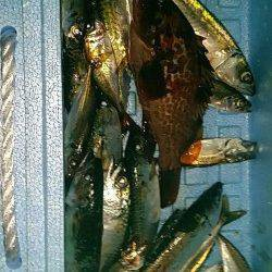 助松埠頭周辺での釣果〜エビ撒きでアコウ&サビキでサバ・小アジ