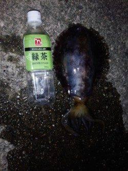 海南周辺アオリイカ狙い〜スラックジャークで釣れました