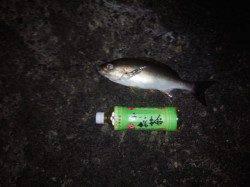 みなべ・堺周辺でのカゴ釣り、日が暮れてから良型のイサギ