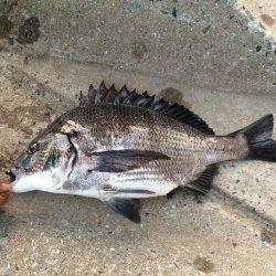 淀川河口でチニング ボトムのズル引きで良型のキビレ&マチヌ