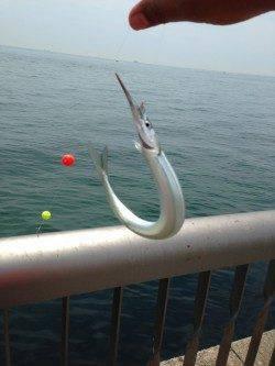 そろそろサヨリの季節夏到来〜昨年釣果投稿あった林崎漁港旧一文字へ☆