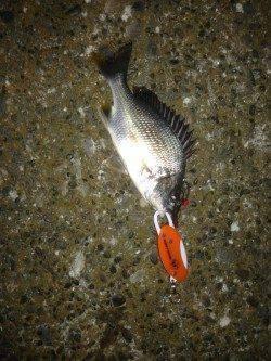 高砂埋立地 チニング釣行もキビレの釣果