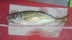 谷川漁港近辺でのアジング釣果
