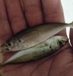 尾崎漁港にてサビキ釣り〜小アジ入れ食いでした