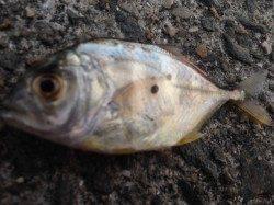 南芦屋浜でショアジギング ロウニンアジが釣れました