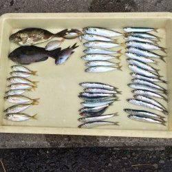 アジ大漁の満足釣果 他イワシ・グレ・アイゴ