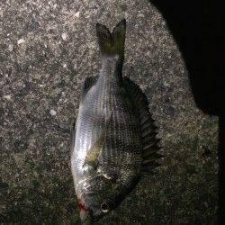 樽井漁港にてガシラとアジを狙うもハゼ多数&チヌの釣果でした