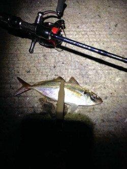 神戸港4,5,6,8防 アジング釣行で本命22cmの姿も