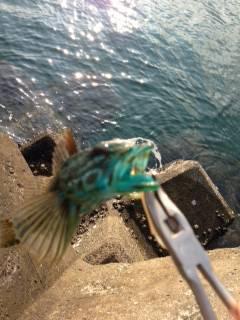 磯ノ浦 穴釣り釣行 暑いせいでガシラの活性はあまり?