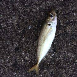 ジグサビキでおかずを釣りに北港へ〜マアジ・丸アジの釣果