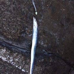 またまた北港のタチウオ釣りへ〜時々シャクリを入れると好反応
