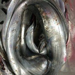 北港のタチウオ狙い〜カウント8~12程のタナでアタリ、14本の釣果