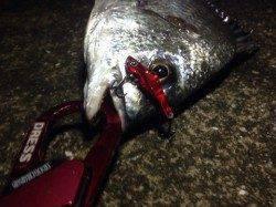 助松埠頭周辺チヌ狙い キビレ39cm&22cmの釣果