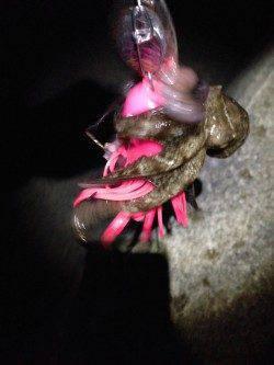 西宮ケーソンオクトパッシング、今年は1ヒロ迄位のタナで釣れています