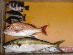 三尾の磯 カゴでヒラマサ70cm・フカセでマダイ50cm