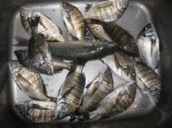 宮崎沖カセでのチヌ釣果 餌はアケミ貝です