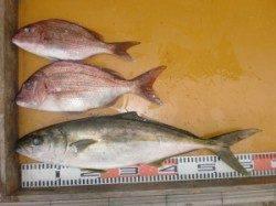 カゴでヒラマサ62cm、マダイ2匹(^_^)v 三尾の磯釣り