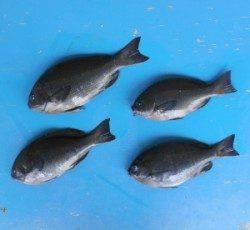 舞鶴田井の磯でグレ33.9cmを頭に4匹の釣果