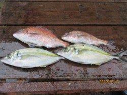 田井の海上釣り堀 マダイ・シマアジで楽しめます