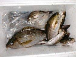 三尾の磯 半夜のカゴ釣りでイサギ・アジがポツポツ