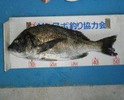 田井の磯 フカセでチヌ〜50cm