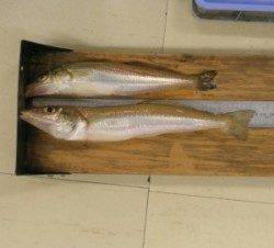 天橋立の投げ釣りでキス25匹 他、穴子やセイゴも