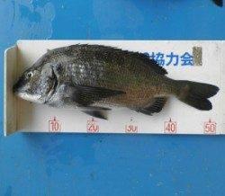 上瀬の地磯でチヌ52.3cm、マキエ、サシエ共にサナギの釣り